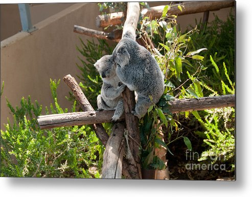 Animals Metal Print featuring the digital art Koala by Carol Ailles