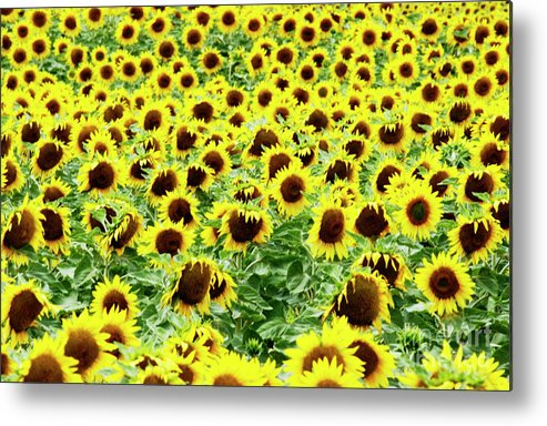 Agriculture Agricultural Crop Cultivate Cultivation Rural Farming Field Countryside Environment Sunflower Yellow Flowers Oil Plant Metal Print featuring the photograph Field Of Sunflowers by Bernard Jaubert
