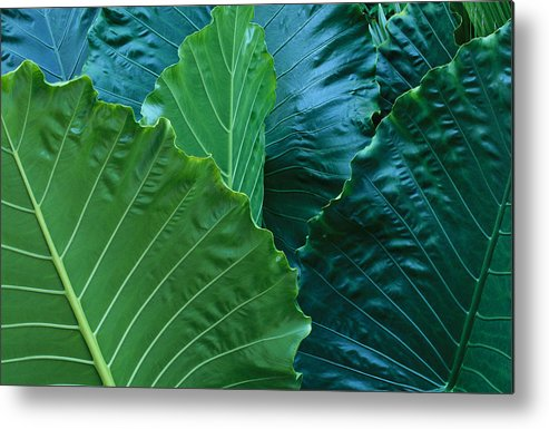 North America Metal Print featuring the photograph A Close View Of Tropical Leaves by Michael Melford