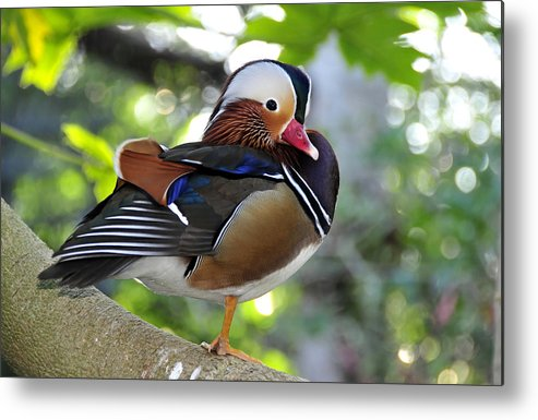Fine Art Photography Metal Print featuring the photograph Aix Galericulata by David Lee Thompson