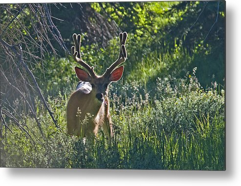 Mule Deer Metal Print featuring the photograph Buck In The Velvet by Earl Nelson