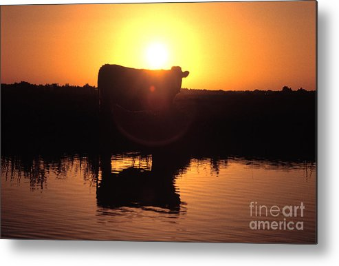 Cow Metal Print featuring the photograph Cow At Sundown by Picture Partners and Photo Researchers