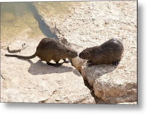 Alexander River Metal Print featuring the photograph Coypu (myocastor Coypus) by Photostock-israel