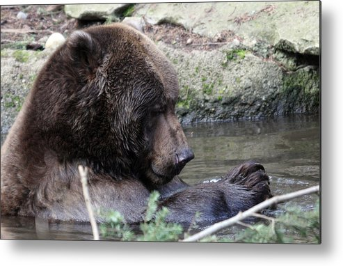Northwest Trek Metal Print featuring the photograph Grizzley - 0007 by S and S Photo