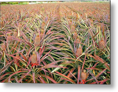 Pineapple Metal Print featuring the photograph Large Field With Pineapples by Yali Shi