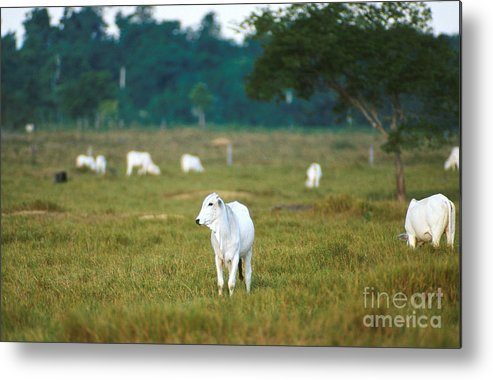 Cow Metal Print featuring the photograph Nelore Beef Cattle by Science Source