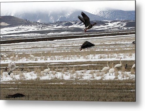 Lower Klamath Metal Print featuring the photograph White Fronted Goose - 0015 by S and S Photo
