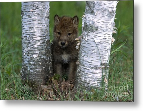 Wolves Metal Print featuring the photograph Wolf Pup Playing Peekaboo by Sandra Bronstein