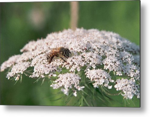 Bee Metal Print featuring the photograph 070406-76 by Mike Davis