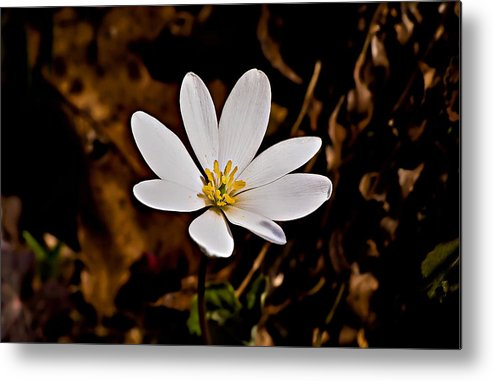 Landscape Metal Print featuring the photograph Bloodroot Bloom by Michael Whitaker