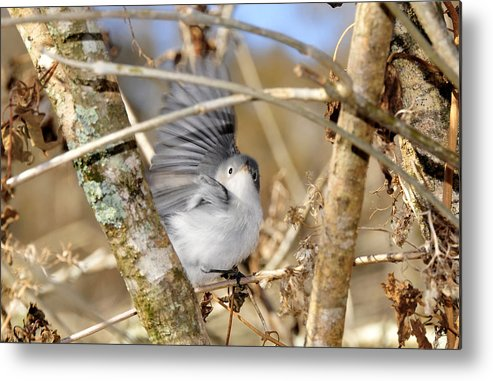 Warbler Metal Print featuring the photograph Blue Gray Gnatcatcher by David Lee Thompson