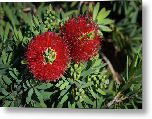 Plant Metal Print featuring the photograph Bottle Brush by Dennis Reagan