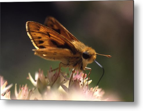 Metal Print featuring the photograph Butterfly-lick by Curtis J Neeley Jr