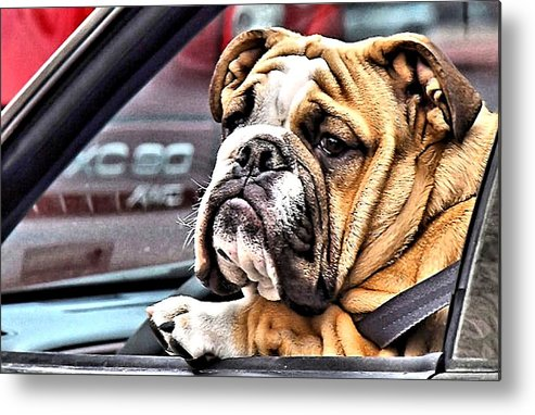 Dog Metal Print featuring the photograph Crazy Atlanta Drivers by Kenneth Mucke