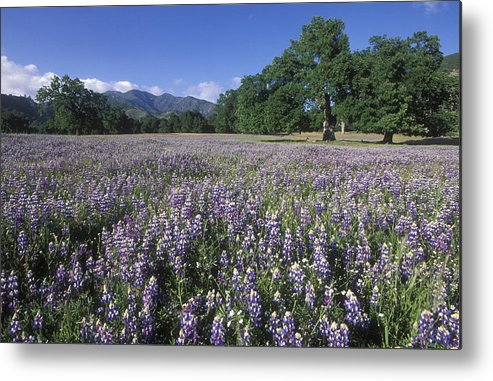 Lupine Metal Print featuring the photograph Fields Of Lupine And Owl Clover by Rich Reid
