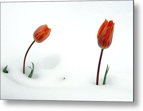 Fine Art Tuilps In The Snow. Fine Art Tuilps Picture. Fine Art Tuilp Cards. Orang Tuilps. Fine Art Canvas. Flowers In The Snow. Spring Snow Storms. Fine Art Tuilp Greeting Cards. Fine Art Tuilp Greeting Card. I Am Sorry Greeting Cards. I Am Sorry Note Cards. Tuilp Picture. Tuilp Canvas Prints. Mixed Media Photography.mixed Media. Mixed Media Photography. Mixed Media Tulip Photography. Mixed Media Flower Photography. Mixed Media Flowers. Metal Print featuring the photograph I Am Sorry by James Steele