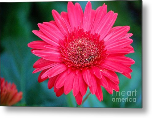 Gerber Daisy Metal Print featuring the photograph In The Pink by Debbi Granruth