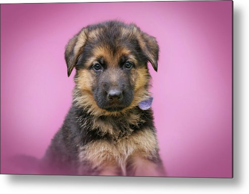 German Shepherd Dog Metal Print featuring the photograph Pretty Puppy In Pink by Sandy Keeton