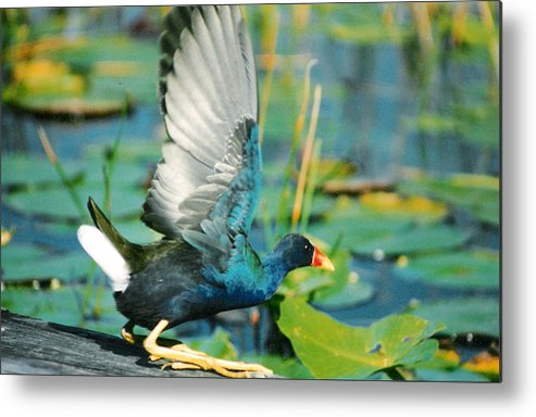 Birds Metal Print featuring the photograph Purple Gallinule by Cindy Gregg