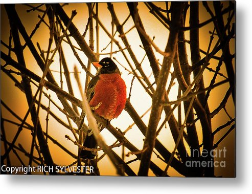 Robin Metal Print featuring the pyrography Robin In Late Sun by Rch Sylvester