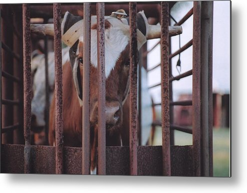 Steer Metal Print featuring the photograph Roping Event 2 by Wendell Baggett