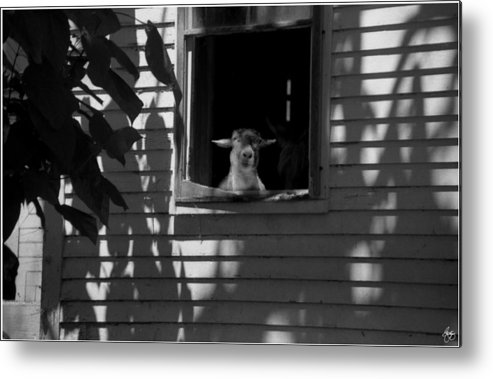 Sheep Metal Print featuring the photograph Sheep In The Shadows by Wayne King