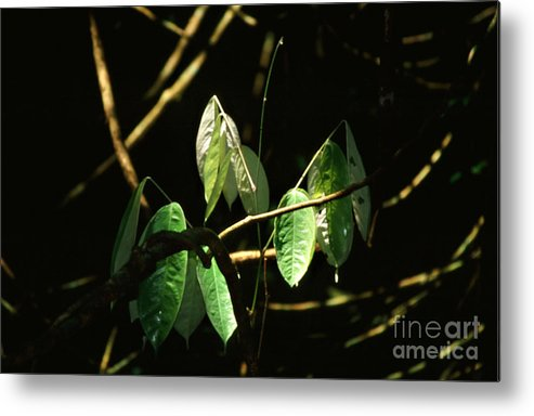 Leaves Metal Print featuring the photograph Sunlit Leaves by Kathy McClure