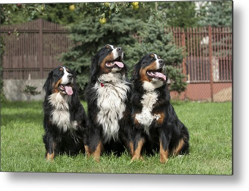 Berner Metal Print featuring the photograph Three Bernese Mountain Dog Portrait by Waldek Dabrowski