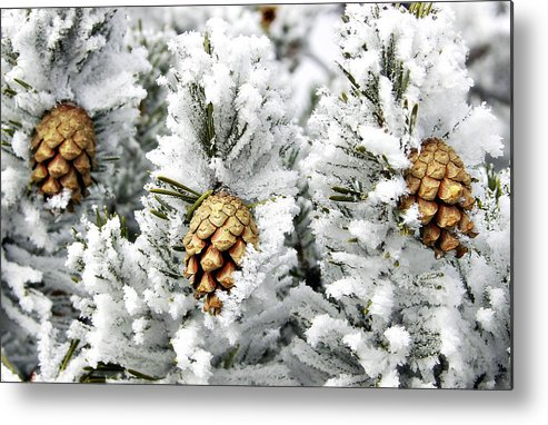Frosty Metal Print featuring the photograph Three Pinecones by Marilyn Hunt
