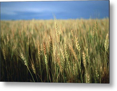 Nobody Metal Print featuring the photograph Winter Wheat In Linn, Kansas by Joel Sartore
