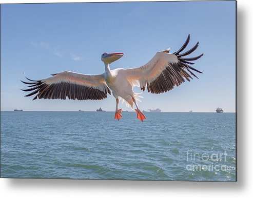Feather Metal Print featuring the photograph Great White Pelican Catches Fish Thrown by Vadim Petrakov