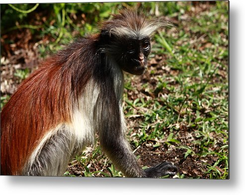 Red Colobus Monkey Metal Print featuring the photograph Colobus Monkey by Aidan Moran
