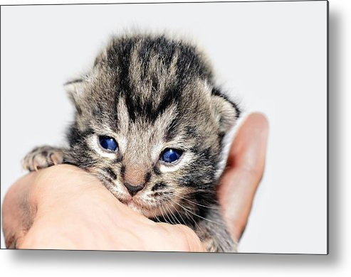 Cat Metal Print featuring the photograph Kitten In A Hand by Susan Leggett
