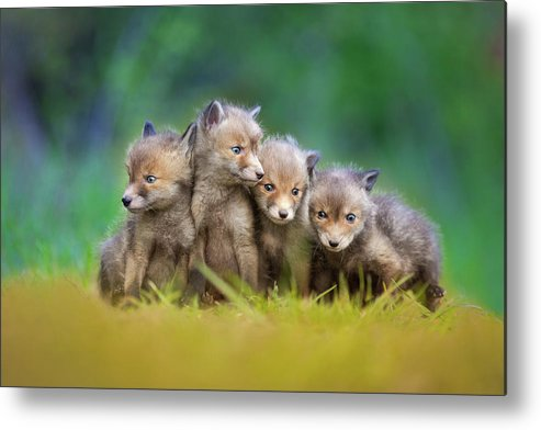 Fox Metal Print featuring the photograph ... Little Explorers ... by Pali Gerec
