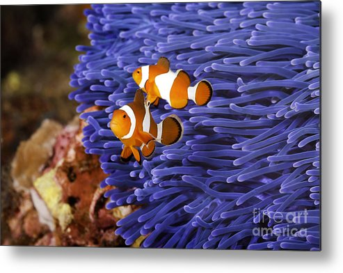 Anemone Metal Print featuring the photograph Ocellaris Clownfish by Anthony Totah