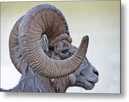 Wildlife Metal Print featuring the photograph Bighorn Mountain Sheep 1 by Dennis Cox