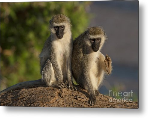 African Fauna Metal Print featuring the photograph Black-faced Vervet Monkey by John Shaw