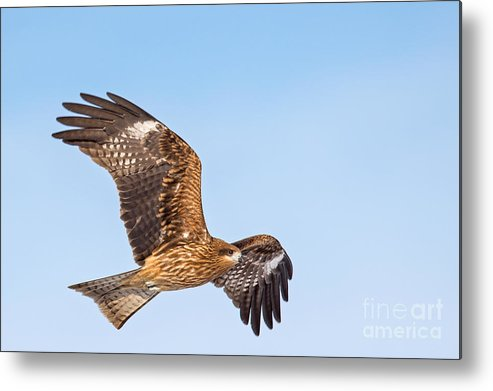 Black Kite Metal Print featuring the photograph Black Kite In Flight by Natural Focal Point Photography