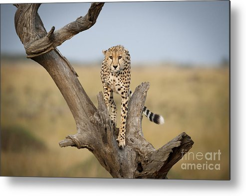 Acinonyx Jubatus Metal Print featuring the photograph Cheetah by John Shaw