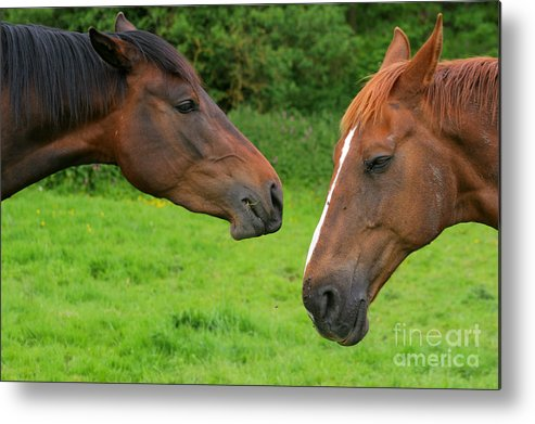Horse Metal Print featuring the photograph Conversations by Angel Ciesniarska