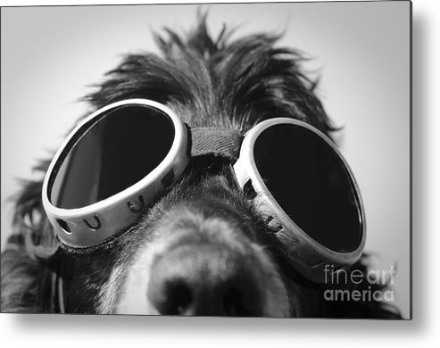 Dog Metal Print featuring the photograph Cool Dog by Mats Silvan