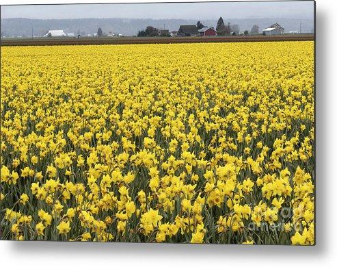 Daffodil Field Metal Print featuring the photograph Daffodil Field by John Shaw