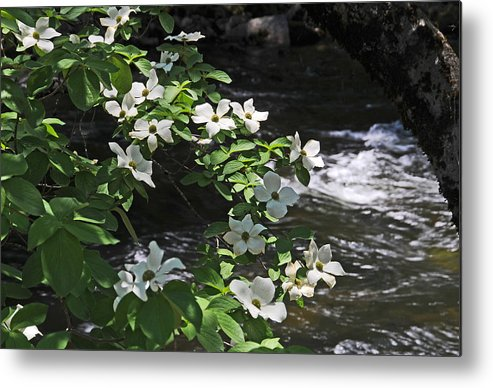 Dogwood Flowers Metal Print featuring the photograph Dogwoods In Yosemite by Lynn Bauer