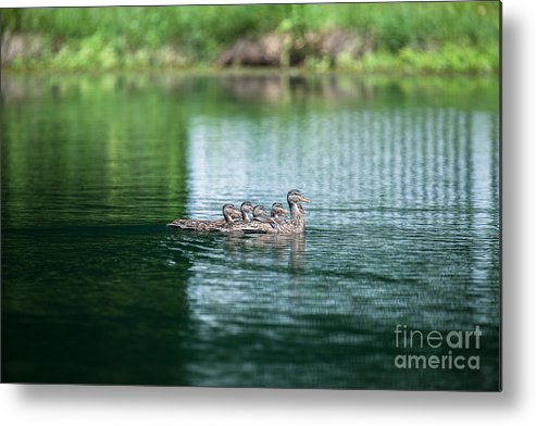 Ducks Metal Print featuring the photograph Duck Call by Dale Powell