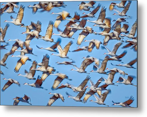 Sandhill Metal Print featuring the photograph Flight Of The Sandhill Cranes by Steven Llorca