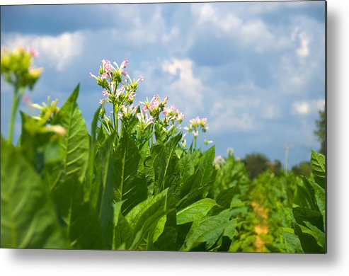 Metal Print featuring the photograph Flowering Tobacco by Chris Applegate