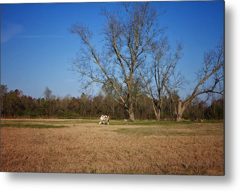 Tree Metal Print featuring the photograph Grazing by Kim Hojnacki