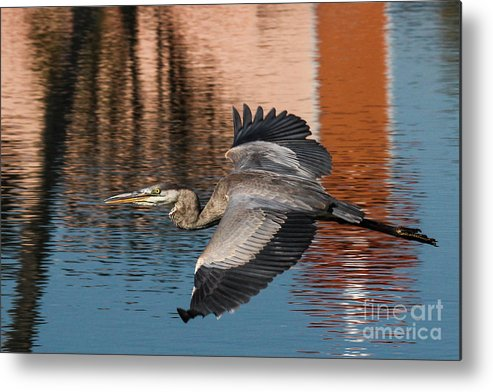 Great Blue Heron Metal Print featuring the photograph Great Blue Heron by Scott Moore
