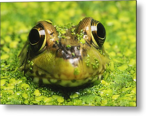 Green Frog Metal Print featuring the photograph Green Frog Hiding In Duckweed by David Davis