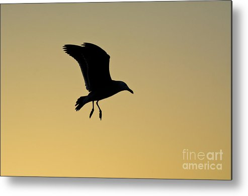 Nature Metal Print featuring the photograph Gull Silhouette by John Shaw